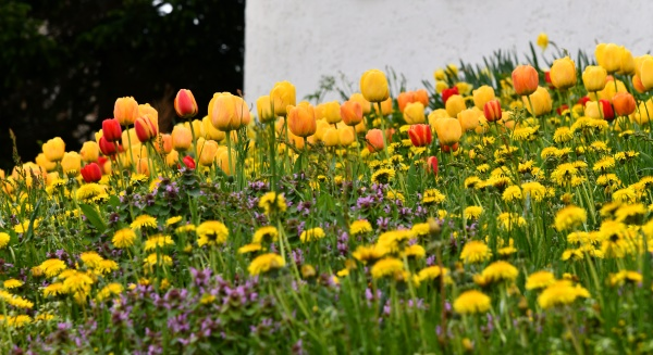 colorful spring flowers in the garden