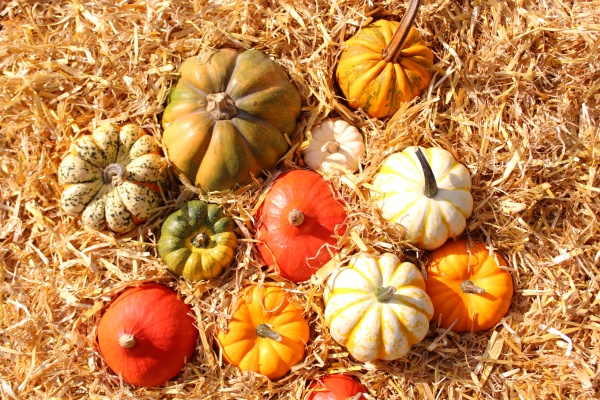 many different pumpkins in the straw