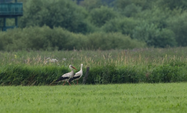 white stork in meadow and bird
