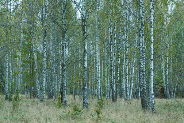 beautiful autumnal birch grove