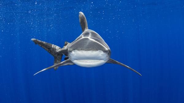 bahamas oceanic whitetip shark swimming