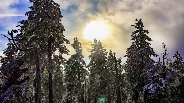 sunshine between snowed in icy fir