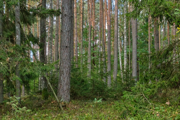 coniferous tree stand in autumn