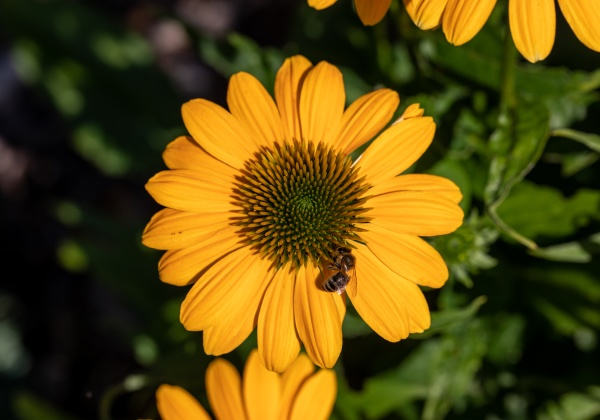 flowers of echinacea an