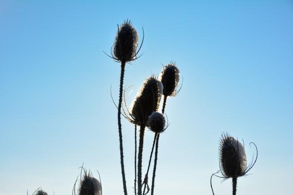 wild, teasel, on, , field, in - 30722956