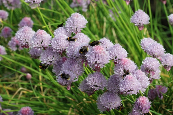 lilac herb chives flowers with bees