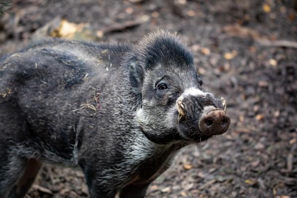endangered boar of visayan warty pig