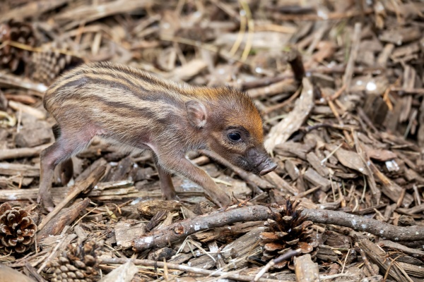 endangered small baby of visayan warty