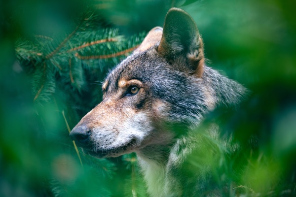 hunting european wolf potrait in forest