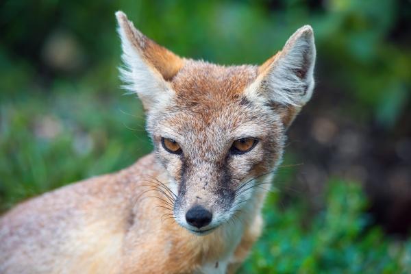 korsak or steppe fox a predatory