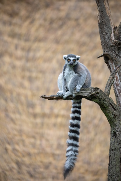 cute and playful ring tailed lemur