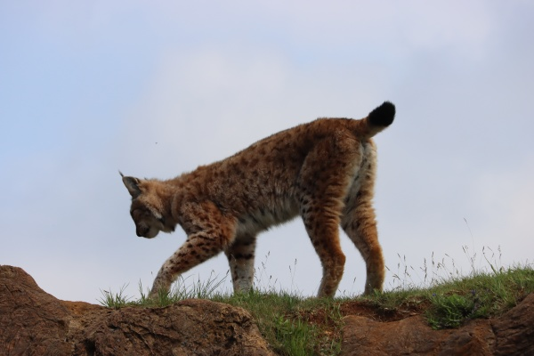 beautiful big cat lynx wild freedom