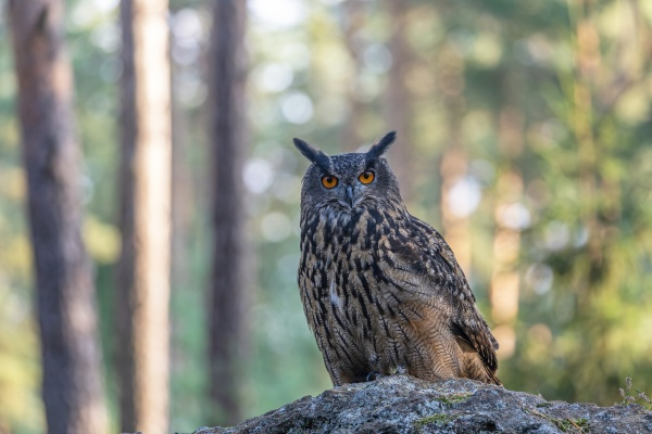 brown owl is sitting on the