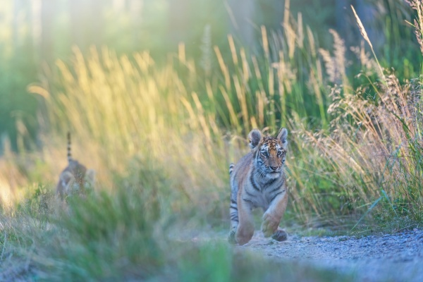 bengal tiger cub is running against