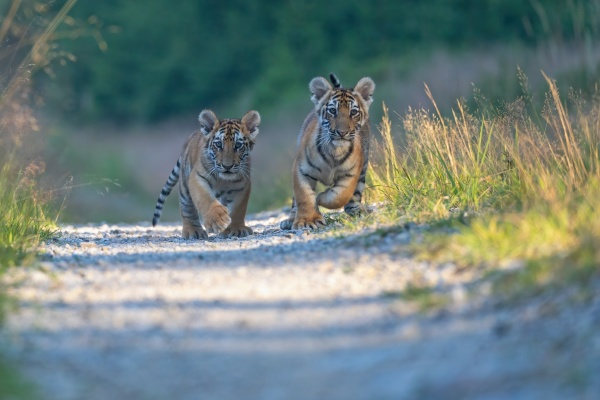 pair of cute bengal tiger cubs