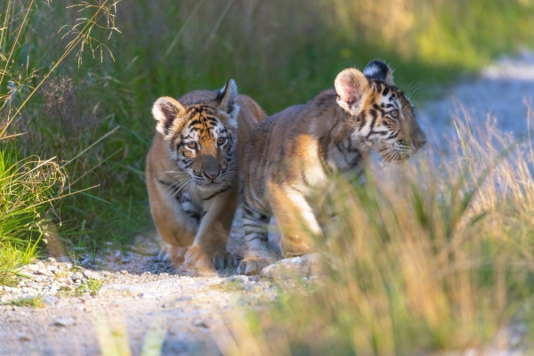two cute bengal tiger cubs are