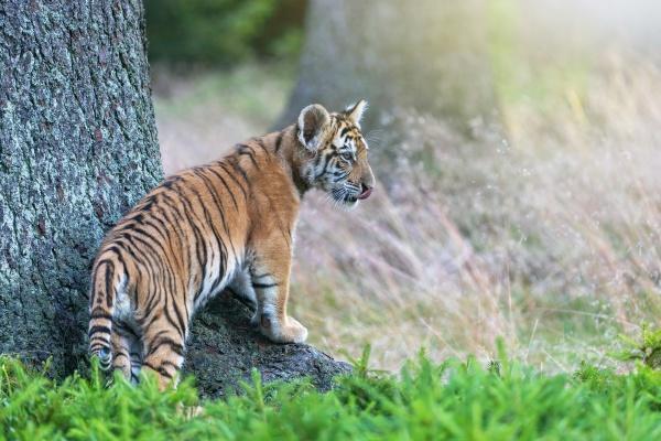 cute bengal tiger cub lis posing