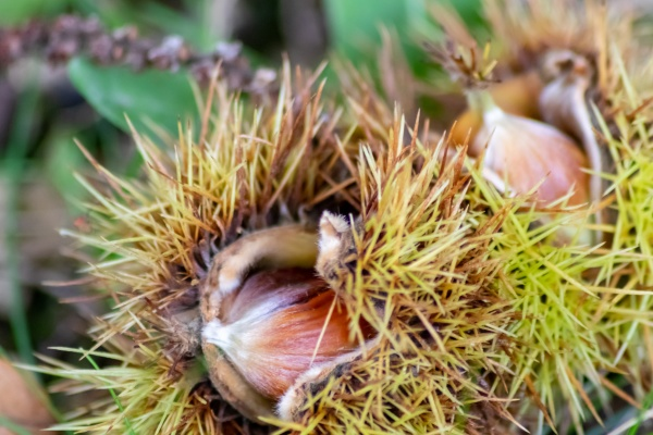 ripe sweet chestnuts laying on the