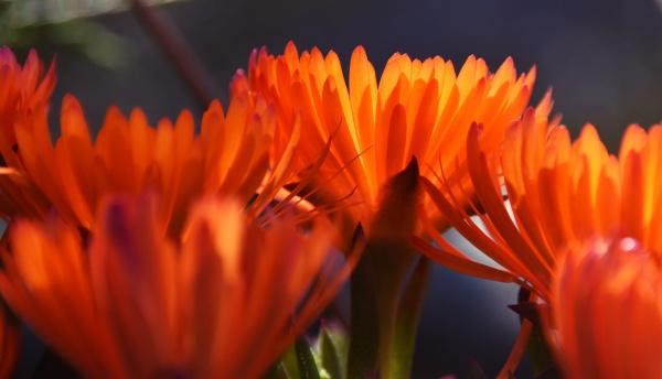 orange trailing ice plant blossoms