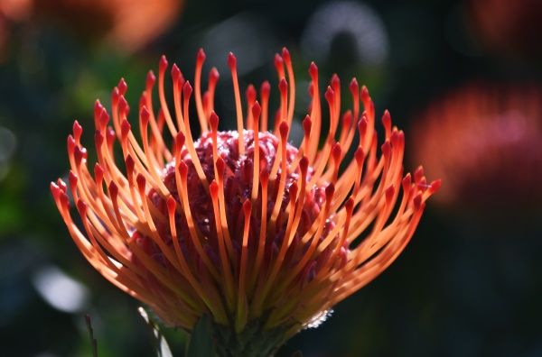 close up of a common pincushion