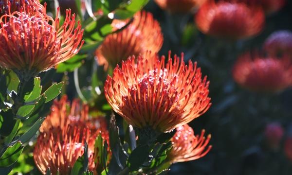 close up of common pincushion protea