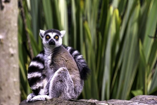 ring tailed lemur lemur catta is