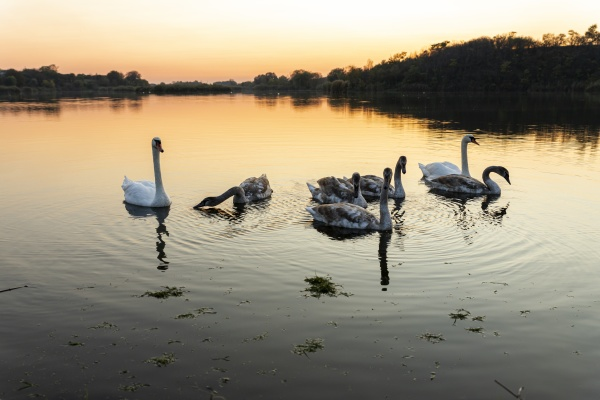 swans on the lake in nature