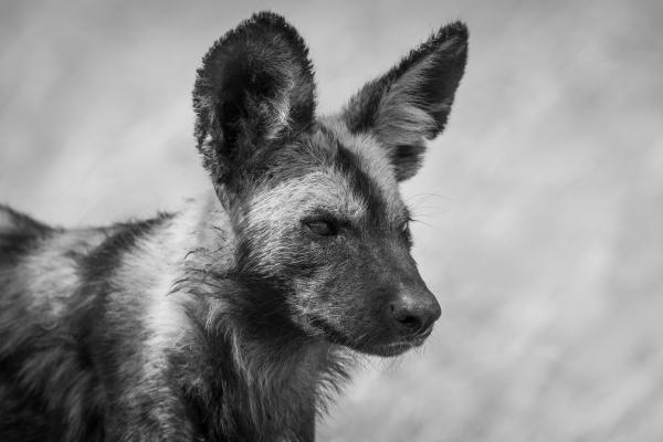 mono close up of wild dog