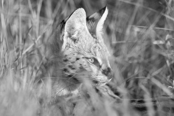 mono close up of serval sitting