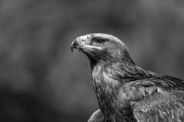 mono close up of golden eagle