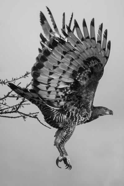 mono african crowned eagle flying from