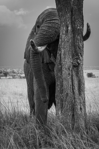 mono african elephant stands behind tree