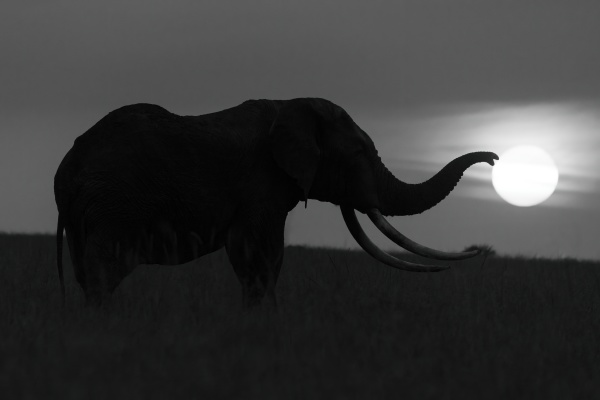 mono african elephant trunk silhouetted touching