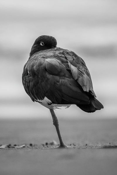 mono american oystercatcher tucking beak into