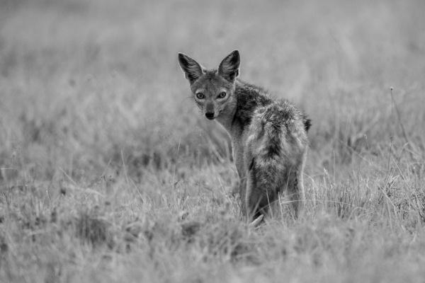 mono black backed jackal watching camera