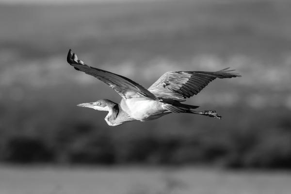 mono black headed heron crosses savannah