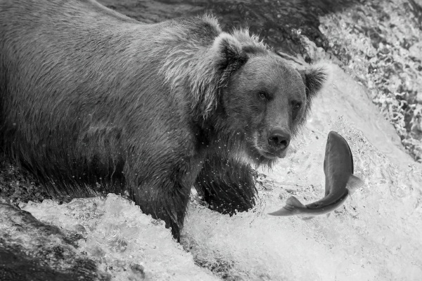 mono brown bear about to catch