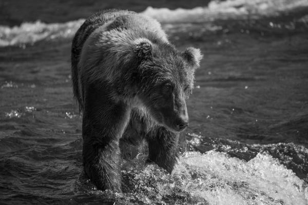 mono brown bear looking down in