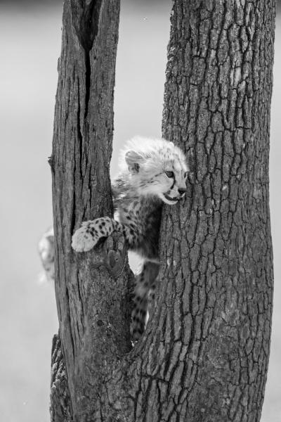 mono cheetah cub stands between tree
