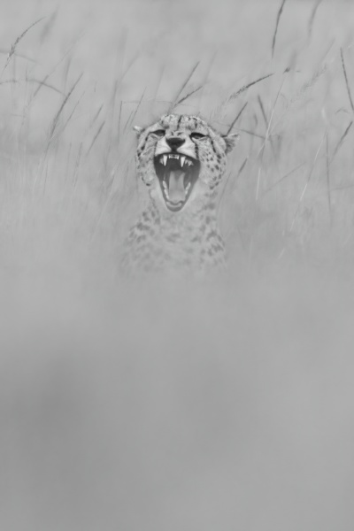 mono cheetah sits yawning in blurred