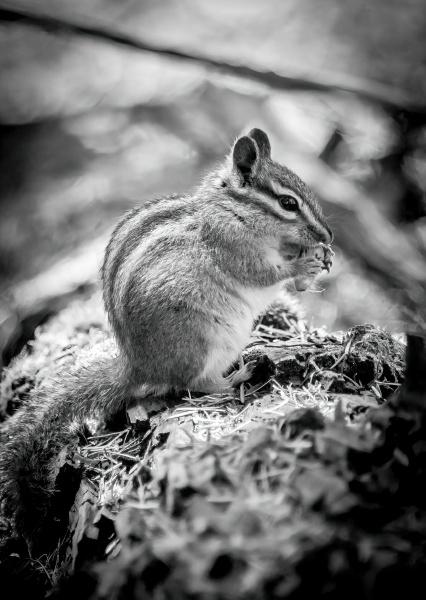 mono chipmunk nibbles nut on mossy