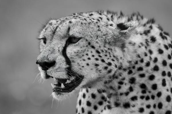 mono close up of cheetah head