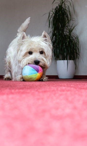 west highland white terrier playing with