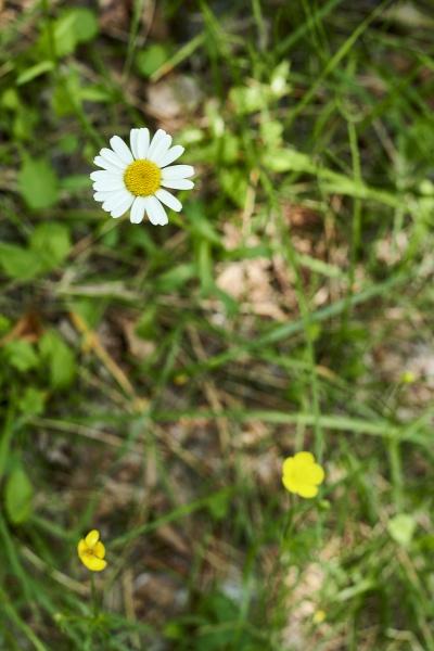 a daisy in the grass with