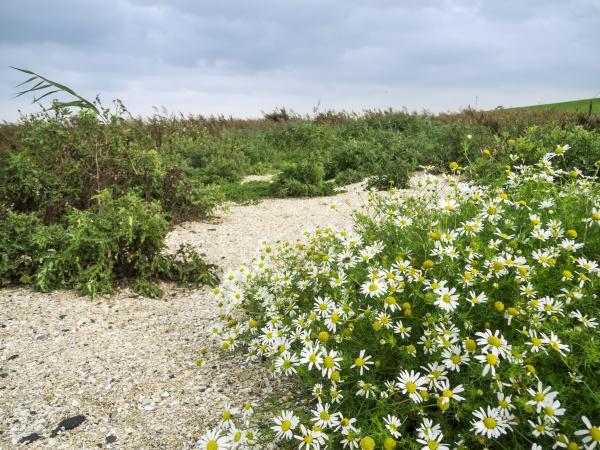 leucanthemum vulgare meadow daisy flat angle