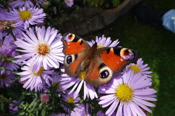 honigbienen apis mellifera und