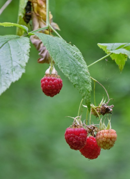 red raspberry close up