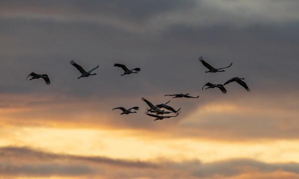 common crane grus grus in flight