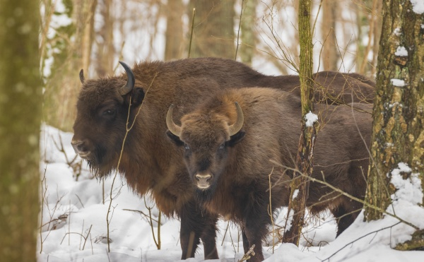 european bisonbison bonasus in wintertime forest