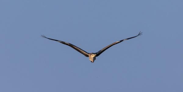 grey heron in fly against blue